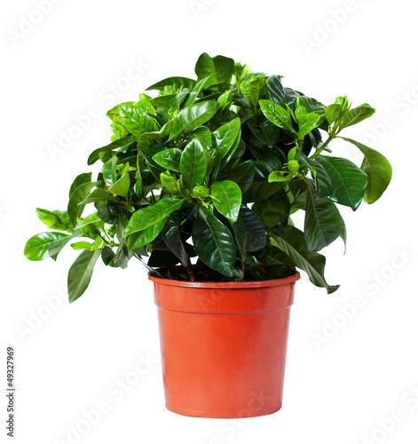 Poster Vegetal Gardenia jasminoides in pot. Isolated on white