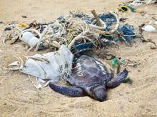 Dead Turtle In Fishing Nets