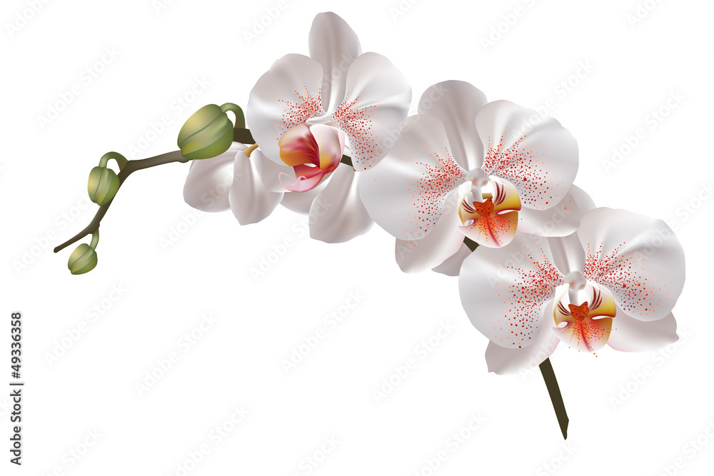 Fototapety, obrazy: White orchid flowers