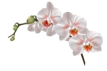 Fototapeta White orchid flowers