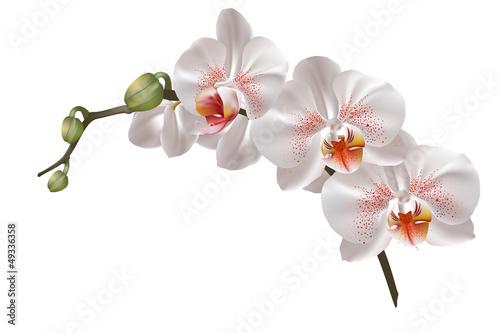 White orchid flowers Fototapeta