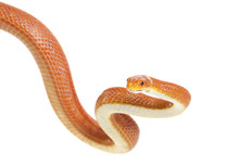 Texas Rat Snake (Elaphe Obsole...