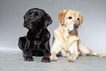 Blonde And Black Labrador Retriever Dog Together. Studio Shot.