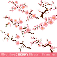 Fototapeta Blooming Cherry Blossom Branches on White