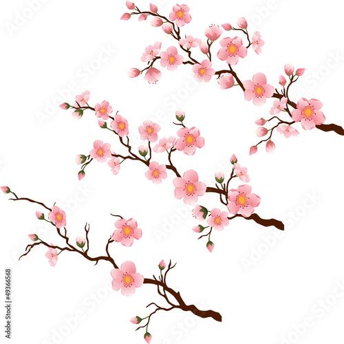 galaz-kwiat-wisni-w-3-roznych-etapach-na-bialym-tle