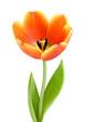 canvas print picture Perfekte, voll aufgeblühte Tulpe