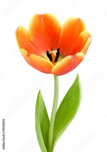Obraz Idealny, w pełni rozkwitnięty tulipan - fototapety do salonu