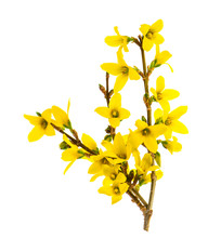 Forsythia Blossoming Isolated ...