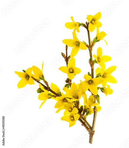 forsythia blossoming isolated on white Wallpaper Mural