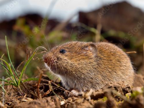 Fotografía  Common Vole (Microtus arvalis)
