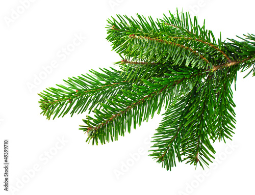 Fotografia  Spruce branch on a white background