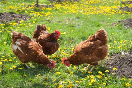 laying hens in the yard