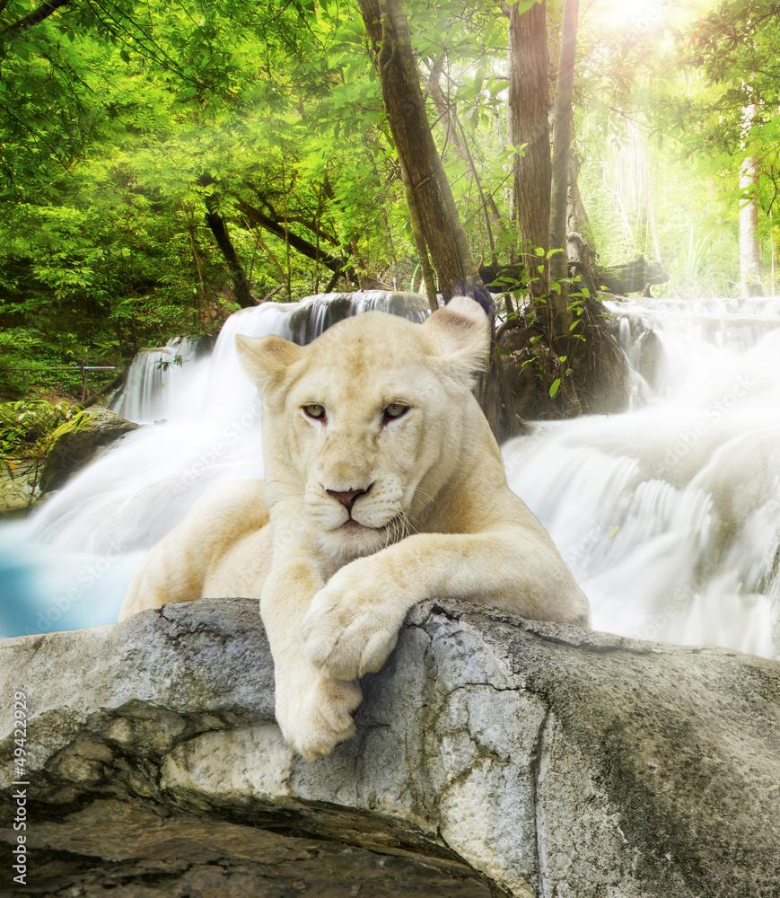 Fototapety, obrazy: White lion