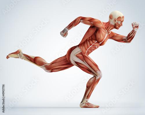 Obraz na płótnie anatomy, muscles