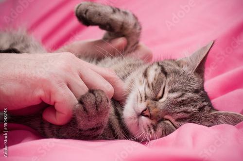Fotografía  Human hand pets a Scottish-straight gray beautiful cat