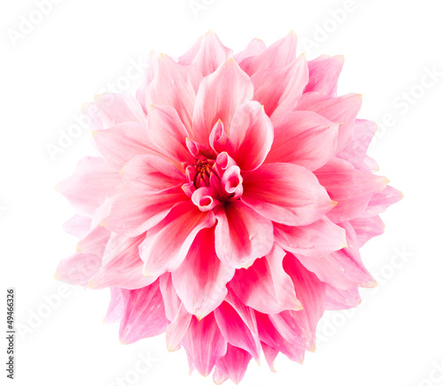 In de dag Dahlia pink dahlia isolated