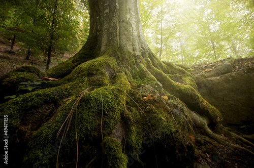 Fotografie, Tablou tree with moss on roots in a green forest in spring