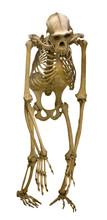 Chimpanzee Skeleton Isolated O...
