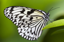 Idea Leuconoe, Paper Kite Butterfly