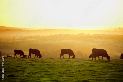 Canvas Print Cattle at sunset