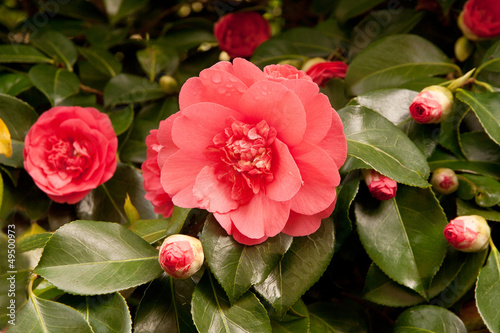 Foto Pale red camelia surrounded by buds