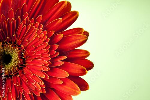 Fotobehang Gerbera red gerbera flower