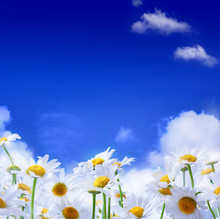 Spring Field Of Daisies And Bl...
