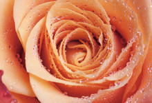 Red And Orange Rose Flower Close-up Photo With Shallow DOF