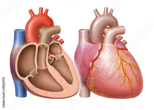 serce-z-tetnicami-wiencowymi-i-przekroj-serca