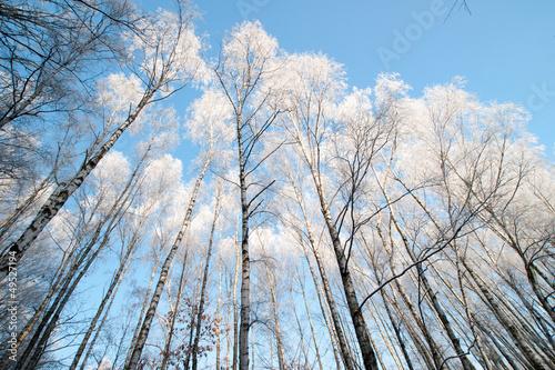 zimowe drzewa - 49527194