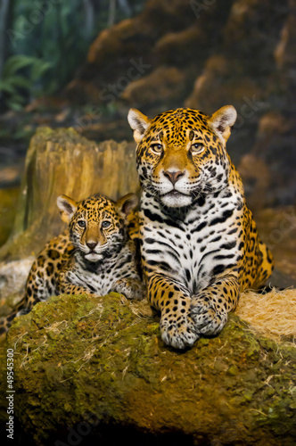 Jaguar Cubs #49545300