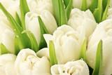 Fototapeta Tulips - Tulipany
