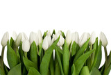 Fototapeta Tulipany - line of white tulips