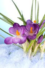 Beautiful Purple Crocuses On Snow, On Blue Background