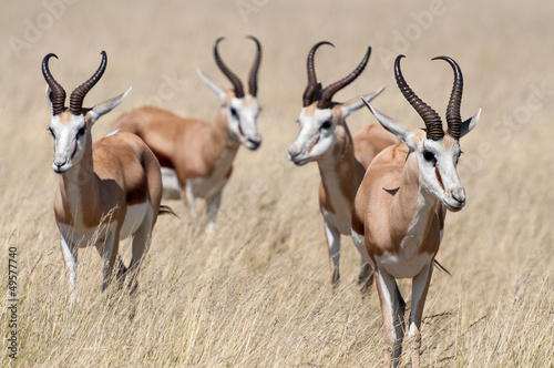 Foto auf AluDibond Antilope A group of Springboks in the Etosha national park in Namibia