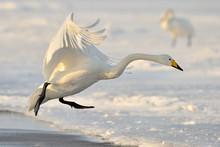 Whooper Swan Landing From Flig...