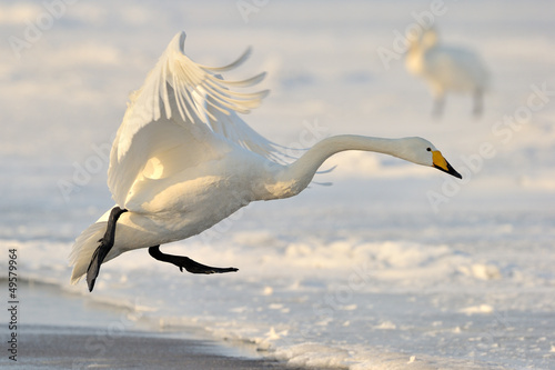 Poster Cygne Whooper Swan landing from flight.