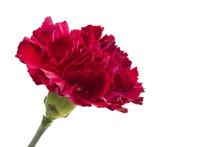 Dark Red Carnation Flower On White Background