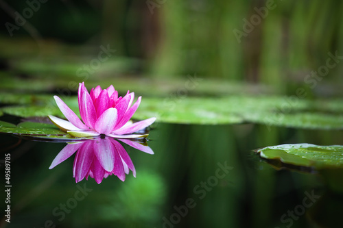 Montage in der Fensternische Wasserlilien Pink waterlily