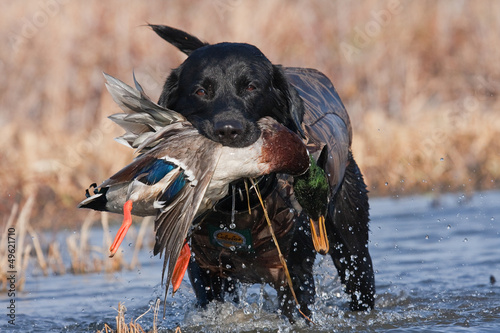 Spoed Foto op Canvas Jacht Black Lab with Mallard