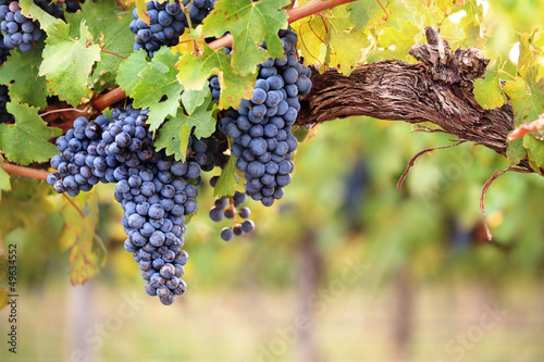 Fotografiet  Red wine grapes on old vine