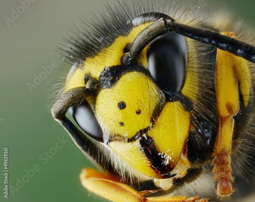 Photo  Testa di vespa