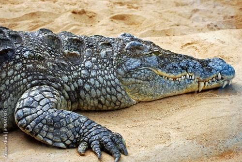 Printed kitchen splashbacks Crocodile Krokodil