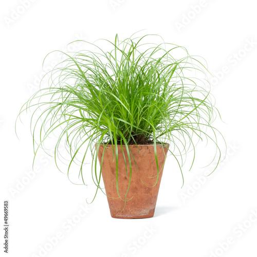 Cyperus Zumula Katzengras Фотошпалери