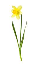 Yellow Daffodil On White Backg...