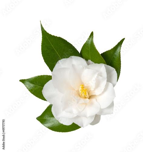 Foto Camellia