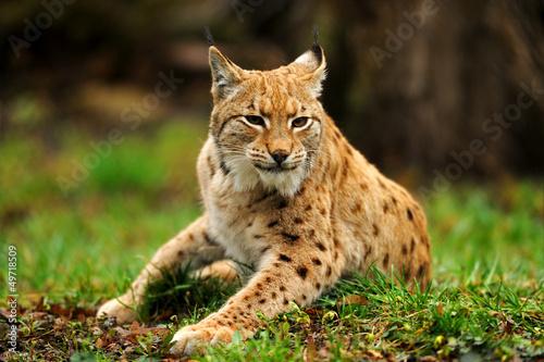 Poster Lynx Lynx