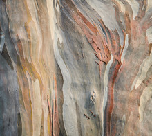 Background Of Rainbow Eucalypt...