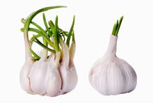 Two Sprouting Garlic