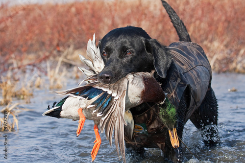 Foto op Canvas Jacht Black Lab with Mallard
